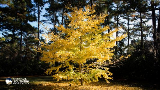 download a zoom background of the chinese ginkgo tree on the armstrong campus