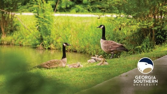 download a zoom background of a family of geese by lakeside