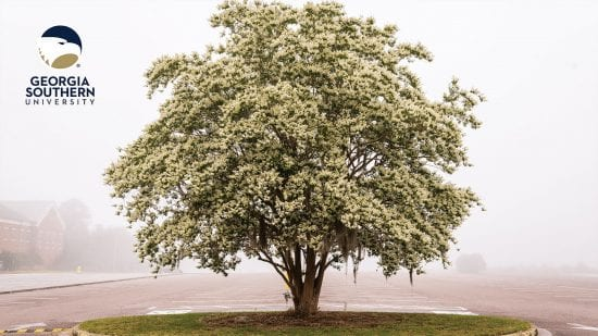 download a zoom background of a large tree with white blossoms on a foggy armstrong campus